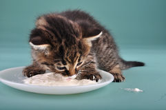 Small kitten eating sour milk Royalty Free Stock Photo