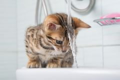 Small kitten, first acquaintance with water, and washing your hair stock image