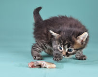 Small kitten frightened and playing with fish Royalty Free Stock Photo