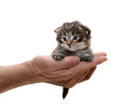 Small kitten on a hand Stock Photos