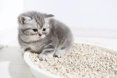 Small kitten in his litter. British Shorthair kitten sitting in her litter sand tray for cat, indoor pet stock images