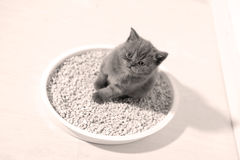 Small kitten in his litter. British Shorthair kitten sitting in her litter sand tray for cat, indoor pet royalty free stock photos