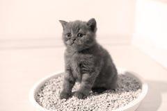 Small kitten in his litter. British Shorthair kitten sitting in her litter sand tray for cat, indoor pet Stock Photo