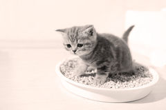 Small kitten in his litter. British Shorthair kitten sitting in her litter sand tray for cat, indoor pet Stock Photography