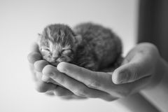 Small kitten in human hands. royalty free stock image