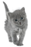 Small kitten isolated Stock Images