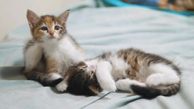 Small kitten itches flea scabies. two cute itches little kitty pets. little kittens concept lifestyle