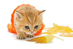 Small kitten in a knitted sweater Royalty Free Stock Photos