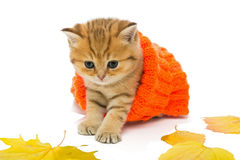 Small kitten in a knitted sweater. Isolated on white Royalty Free Stock Image