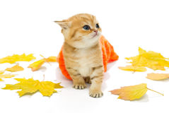 Small kitten in a knitted sweater and  leaves Royalty Free Stock Image