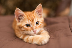 Small  kitten lie on the bed Royalty Free Stock Image