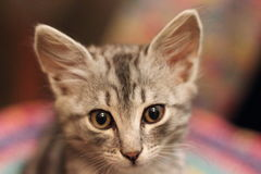 Small kitten look Royalty Free Stock Images