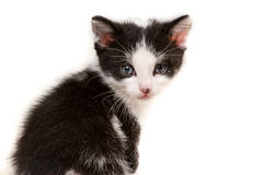 Small kitten looking at camera Royalty Free Stock Images