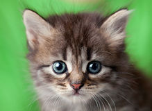 small kitten looks at the photographer Royalty Free Stock Photo