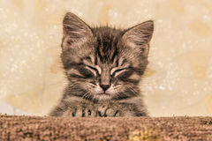 Small Kitten Lying On Sofa. Stock Photos