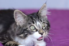 Small kitten maine coon gray tiger with green eyes that opens a little mouth to meow Royalty Free Stock Image