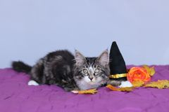 Small kitten maine coon lying down next to a witch hat and an orange flower for the halloween party royalty free stock photos