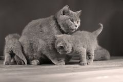 Small kitten and mother cat play, isolated Stock Photography