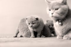 Small kitten with mother on a white background. Cute kittens on a white background, British Shorthair cats, copyspace Stock Image