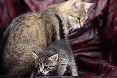 Small kitten with mum cat Stock Image