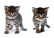 Small kitten. My brown small cute  kitten Stock Photography