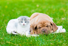 Small kitten near sleeping Bordeaux puppy dog Royalty Free Stock Images