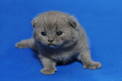 Small kitten with newly opened eyes. Royalty Free Stock Images