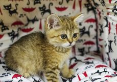Portrait of a small kitten Royalty Free Stock Image