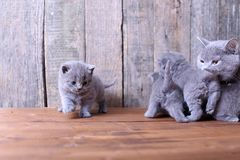 Small kitten playing with mom Stock Images
