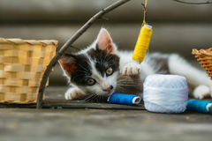 Small kitten playing with thread on twig. Cute small lovely curious baby cat or kitten with white color spotted fur and whiskers playing with thread on twig near Stock Image