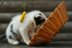 Small kitten playing with thread on twig Royalty Free Stock Images