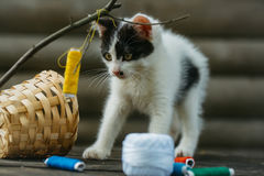 Small kitten playing with thread on twig. Cute small lovely curious baby cat or kitten with white color spotted fur and whiskers playing with thread on twig near Stock Photo