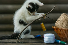 Small kitten playing with thread on twig. Cute small lovely curious baby cat or kitten with white color spotted fur and whiskers playing with thread on twig near Stock Photos