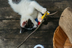 Small kitten playing with thread on twig. Cute small lovely curious baby cat or kitten with white color spotted fur and whiskers playing with thread on twig near Stock Images