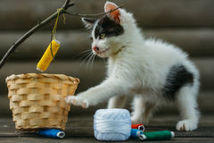 Small kitten playing with thread on twig. Cute small lovely curious baby cat or kitten with white color spotted fur and whiskers playing with thread on twig near Royalty Free Stock Image