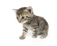 Small kitten playing on white background. A small kitten on a white background. These kittens are being raised on a farm in central Illinois Royalty Free Stock Photos