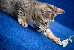 The small kitten plays a dark blue background Royalty Free Stock Images