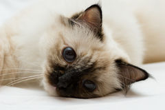 Small kitten resting Stock Photography
