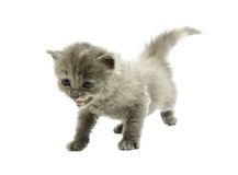 The small kitten shouts Royalty Free Stock Photo