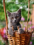 Small kitten sitting in a basket. Small funny kitten sitting in a basket in summer day Royalty Free Stock Photos