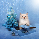 Small kitten on sledge and xmas tree. Small siberian kitten on sledge and Christmas tree on blue background with snowstorm, winter consept Royalty Free Stock Photo