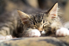Small kitten sleep on the couch Royalty Free Stock Photos