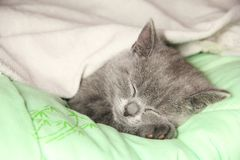 Maine Coon kitten sleep under blanket. Kitten of the British breed royalty free stock photo