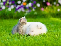 Small kitten with sleepy White Swiss Shepherd`s puppy on green g Royalty Free Stock Image