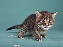 Small kitten with sour milk over face and paws Stock Photos