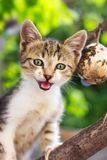 Small kitten standing on a tree branch. Meowing and looking scared royalty free stock photo
