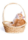 Small kitten in straw basket. Persian kitten sitting in a basket on white Royalty Free Stock Image