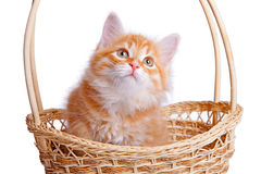Small kitten in straw basket. Persian kitten sitting in a basket on white Royalty Free Stock Photography