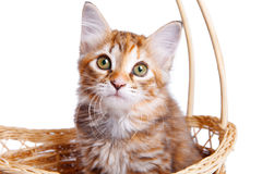 Small kitten in straw basket. Persian kitten sitting in a basket on white Stock Photos