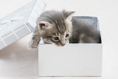 Small kitten stuck in a gift box, cuddly animal sweet face Royalty Free Stock Photos